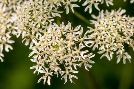 Blütenstand von Wildkräutern